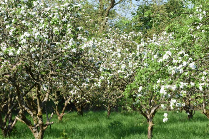 Orchard in Bloom May 2016